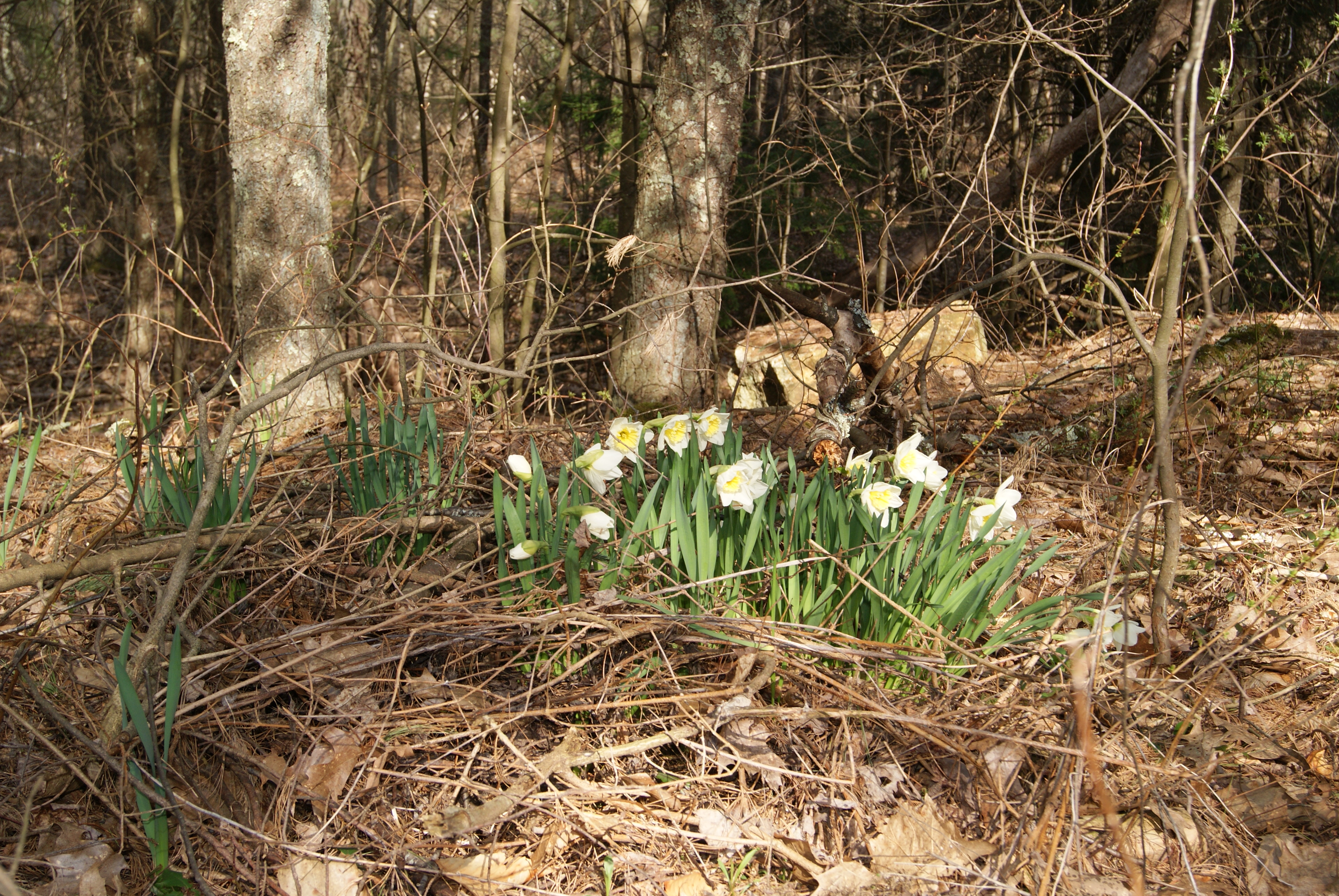 Daffodil patch in the middle of the woods.