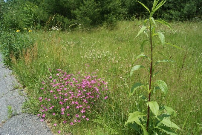 Phlox and weeds, side by side now.